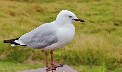 Photograph - Silver Gull by Harry Strharsky