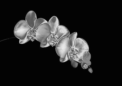 Y120907 Photograph - Silver Phaelenopsis Orchid On A Black Background by Mike Hill