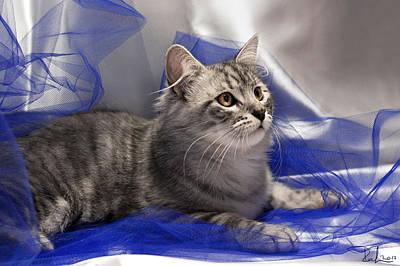Photograph - Silver Siberian Kitty On Blue by Raffaella Lunelli