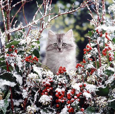 Silver Tabby Kitten Art Print by Jane Burton