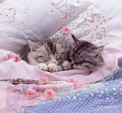 Photograph - Silver Tabby Kittens by Jane Burton