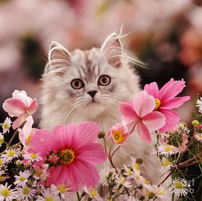 Animal Portraiture Photograph - Silver Tabby Persian Kitten by Jane Burton