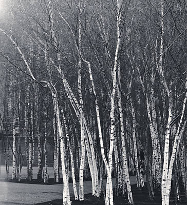 Photograph - Silver Trees by Lenny Carter