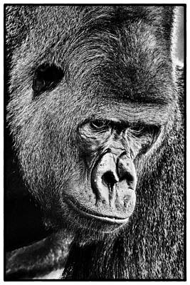 Photograph - Silverback Gorilla by Perla Copernik