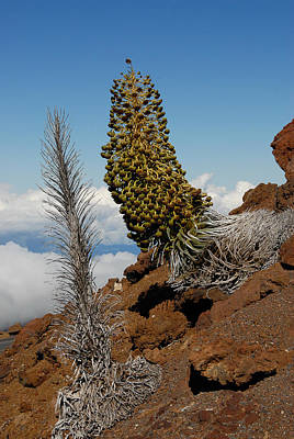 Silversword On Haleakala Art Print by Scott Massey