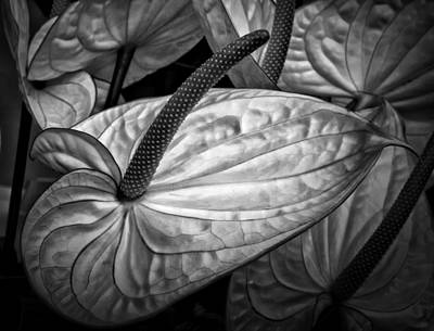 Photograph - Silvery Sheen by Shirley Mitchell