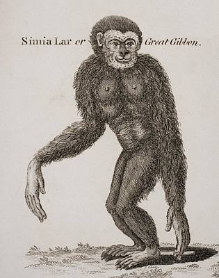 Simia Lar, Great Gibbon. Engraved By Art Print by Ken Welsh