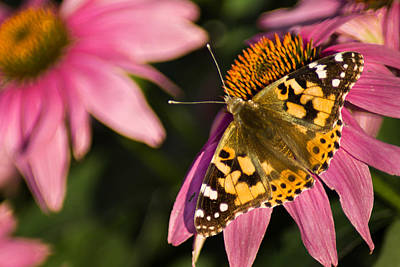 Photograph - Simple Butterfly by Bill Pevlor