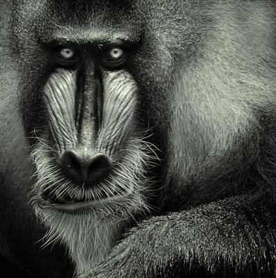 Monkey Photograph - Singapore Zoo, Mandrill by By Toonman