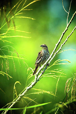 Photograph - Singing Song Sparrow by Steven Llorca