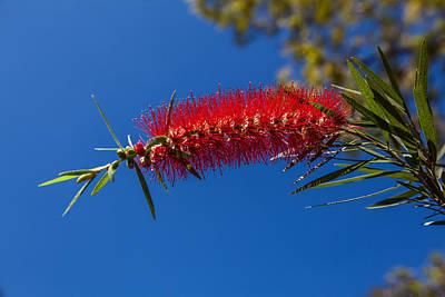 Crimson Bottlebrush Photograph - Single Crimson Bottlebrush Flower by Craig Lapsley