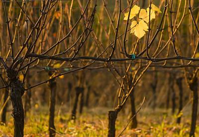 Pinot Noir Photograph - Single Leaf by Jean Noren