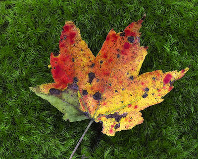 Photograph - Single Leaf On Green Moss by Steve Hurt