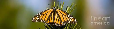 Single Monarch Butterfly Art Print by Darcy Michaelchuk
