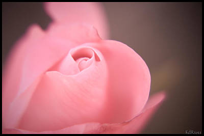 Photograph - Single Pink Rose by Kelly Rader