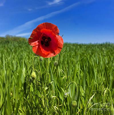 Single Poppy Flower  In A Field Of Wheat Art Print by Bernard Jaubert