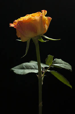 Photograph - Single Rose by Zoe Ferrie