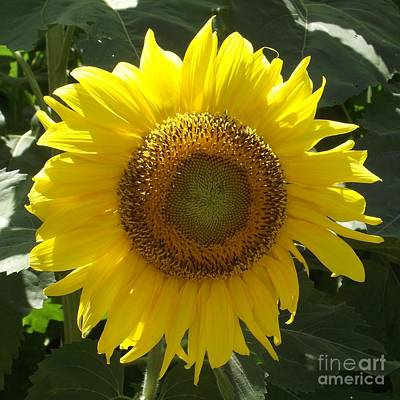 Photograph - Single Sunflower by Michelle Welles