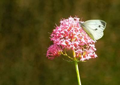 Butterflies Photograph - Sitting Pretty by Sharon Lisa Clarke