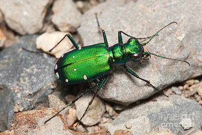 Photograph - Six-spotted Tiger Beetle by Clarence Holmes