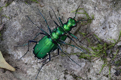 Art Print featuring the photograph Six-spotted Tiger Beetles Copulating by Daniel Reed