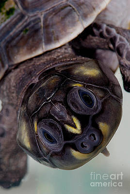 River Turtle Photograph - Six-tubercled River Turtle by Dant� Fenolio