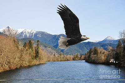 Photograph - Skagit River Bald Eagle by Jack Moskovita