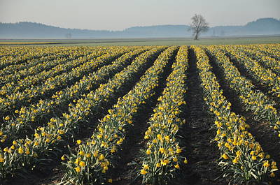 Spring Landscape Photograph - Skagit Valley Daffodils by Dene' Miles