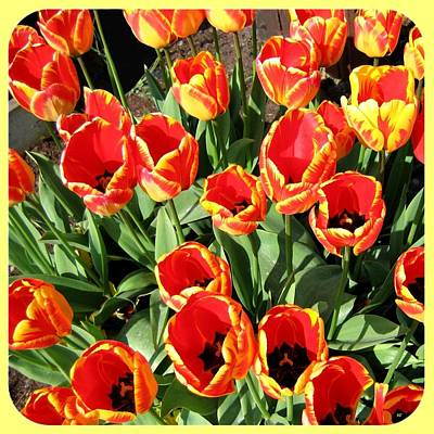 Photograph - Skagit Valley Tulips 10 by Will Borden