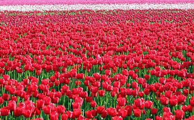 Photograph - Skagit Valley Tulips 6 by Will Borden