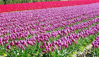 Photograph - Skagit Valley Tulips by Kelly Manning
