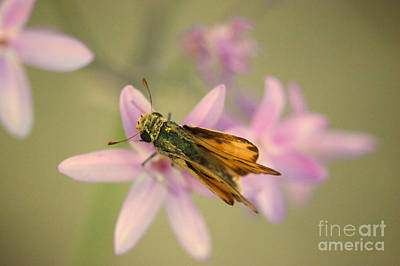 Glassy Wing Photograph - Skipper Butterfly by Brooke Roby