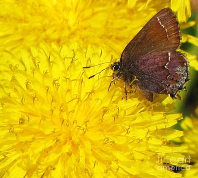 Photograph - Skipper On Dandelion by Michele Penner