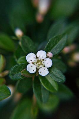 Rosaceae Photograph - Skull Ghost Flower 1 by Douglas Barnett