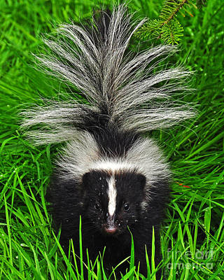 Photograph - Skunk by Jack Moskovita