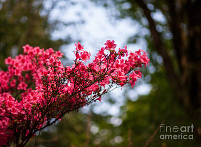 Firefighter Patents - Skylit Red Azaleas Blooms by Mike Reid