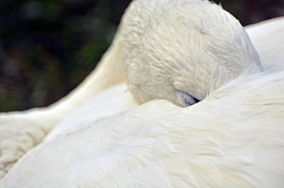 Photograph - Sleeping Bird by Helen Haw