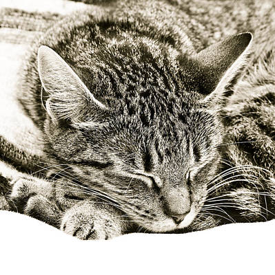 Tabby Photograph - Sleeping Cat by Tom Gowanlock