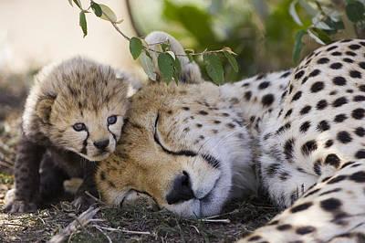 Photograph - Sleeping Cheetah And Cub Kenya by Suzi Eszterhas