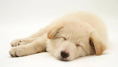 White German Shepherd Dog Photograph - Sleeping Dog by Jane Burton
