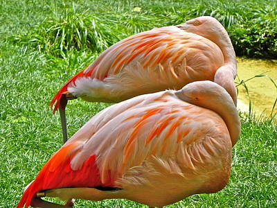 Photograph - Sleeping Flamingos by Eve Spring