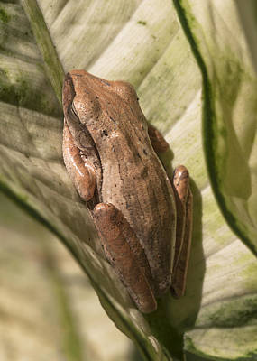 Photograph - Sleeping Frog by Zoe Ferrie