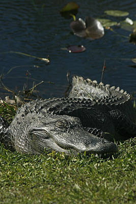 American Alligator Photograph - Sleeping Giant by Cindi Ressler