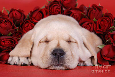 Sleeping Labrador Puppy With Roses Art Print by Waldek Dabrowski