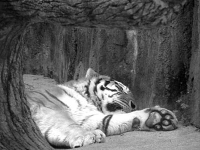 Mixed Media - Sleeping Tiger by Connie Dye
