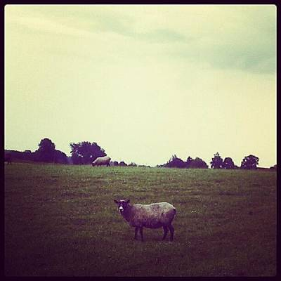 Sheep Photograph - Sleeplessness Always Seems To Surprise by Tess Walther