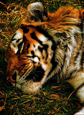 Tigris Digital Art - Sleepy Amur Tiger by Bill Tiepelman