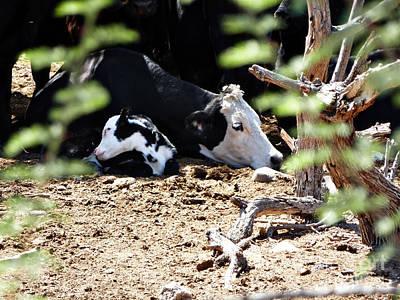 Sleepy Arizona Cows Art Print by Methune Hively