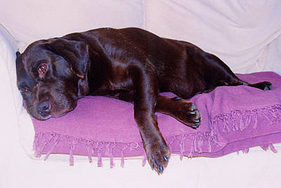 Sleepy Chocolate Labrador Hooch Art Print by Richard James Digance