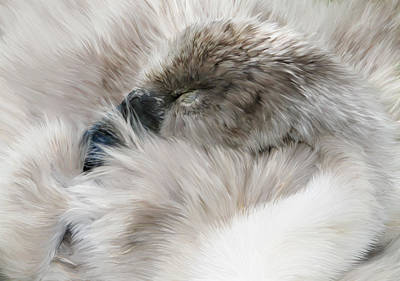 Swan Digital Art - Sleepy Cygnet by Julie L Hoddinott